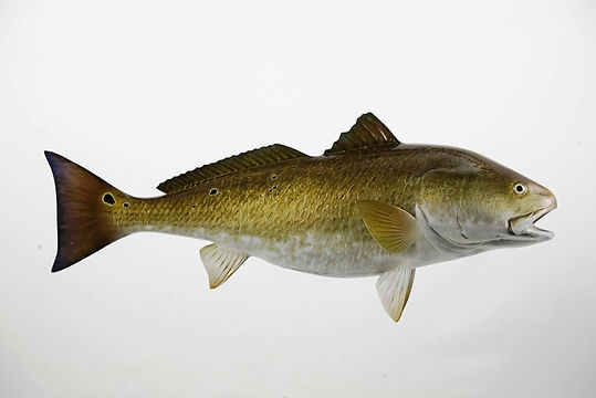 Redfish_Bull_Redfish.jpg