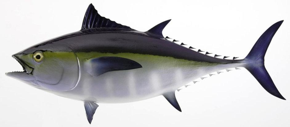 Blackfin_Tuna_Fish.jpg