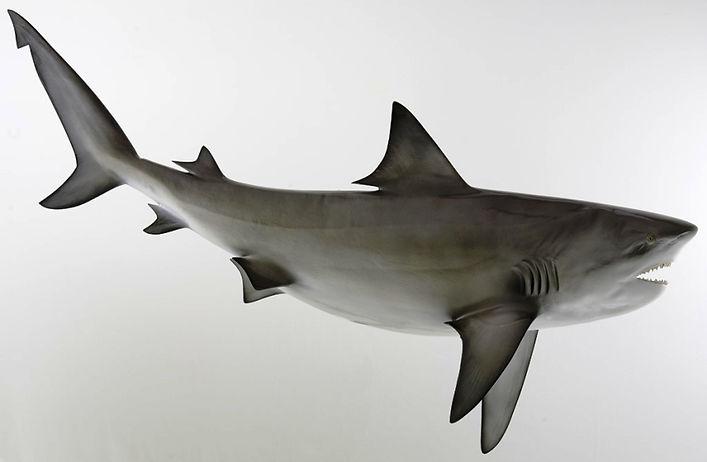 Bull_Shark.jpg