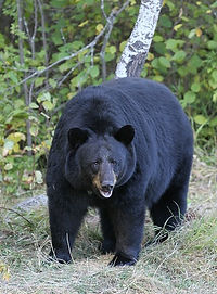 Black bear from wiki.jpg