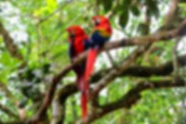 Innsaei Costa Rica Yoga Scarlet Mccaws Y