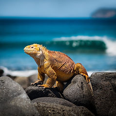 Marine iguana on a rock in the Galapagos Islands.