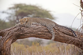 Leopard resting in a tree in South Luangwa National Park in Zambia.