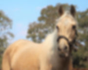 Beautiful Palomino horse for adoption
