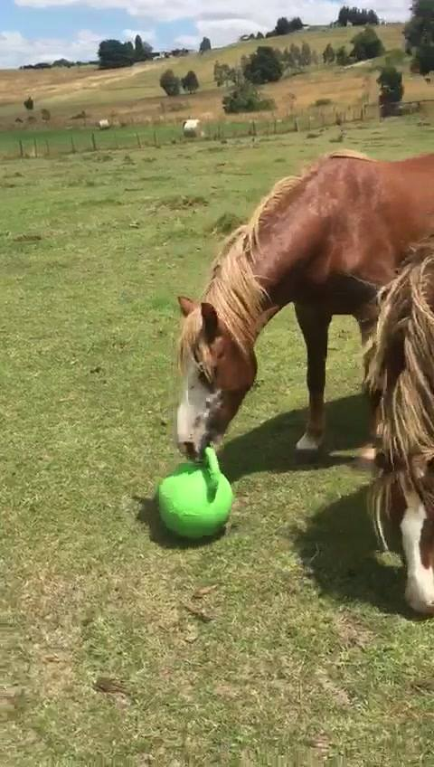 Can always count on these two brothers to make you laugh!!!!! The funniest ponies around! Artax and garnet. Inseparable. Best friends. My first ever rescues who came to me as tiny terrified yearlings. Identical in every way. Now over 4 years old and