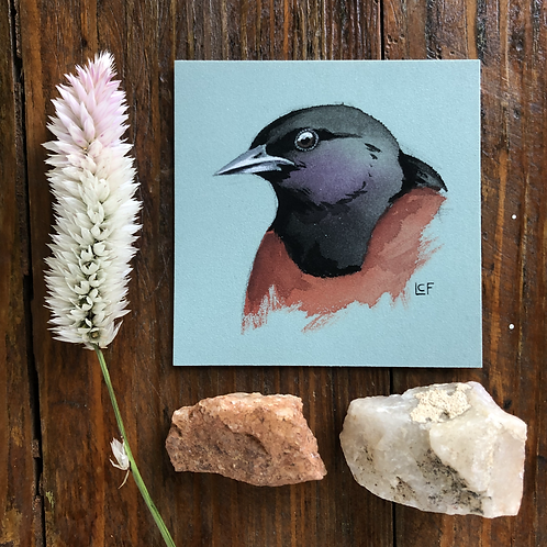 Orchard Oriole Study