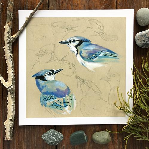 Blue Jay Study | Art Print