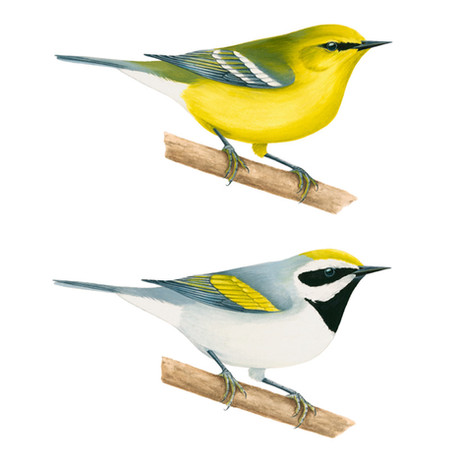 Blue and Golden-winged Warbler