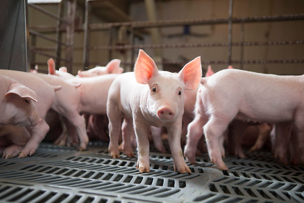 Young Pigs in Barn.JPG