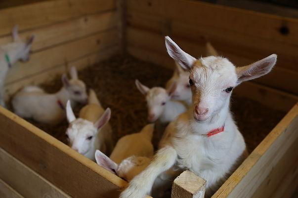 goats-3031547_1920.jpg