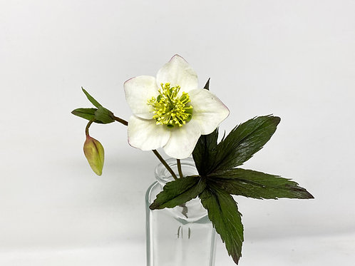 Christmas rose with bud and leaves