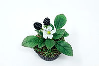 Handmade Sugar Blackberry cupcake by Dragons and Daffodils Cakes