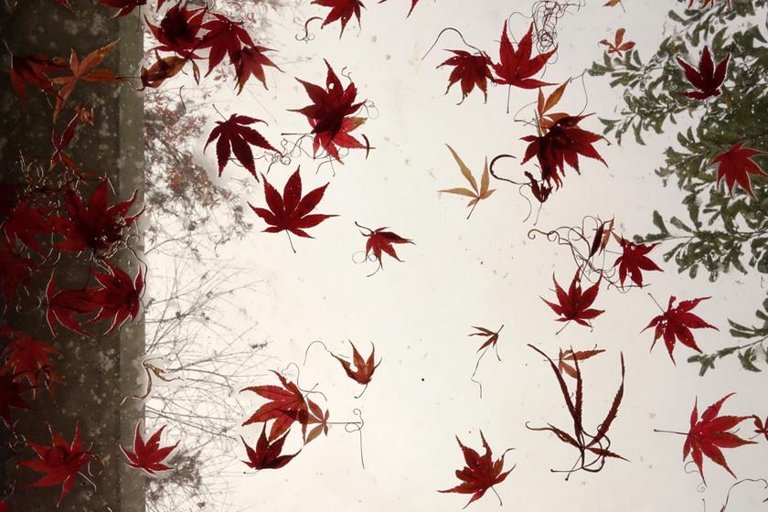 1140w.red_.leaves.DSC07900.jpg
