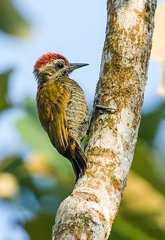 Little_Woodpecker_Male.jpg