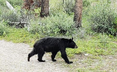 Black bear sighting in campground, Jasper National Park, Alberta