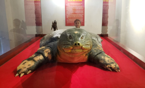Taxidermied turtle at Hoan Kiem Lake