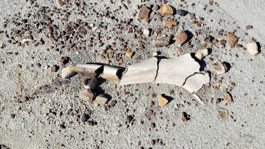 Dinosaur fossils from the fossil safari at Dinosaur Provincial park