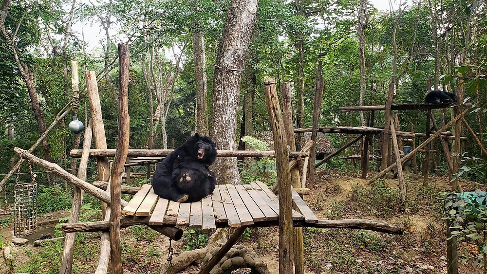 two moon bears wrestling on a wooden platform at Bear Sanctuary