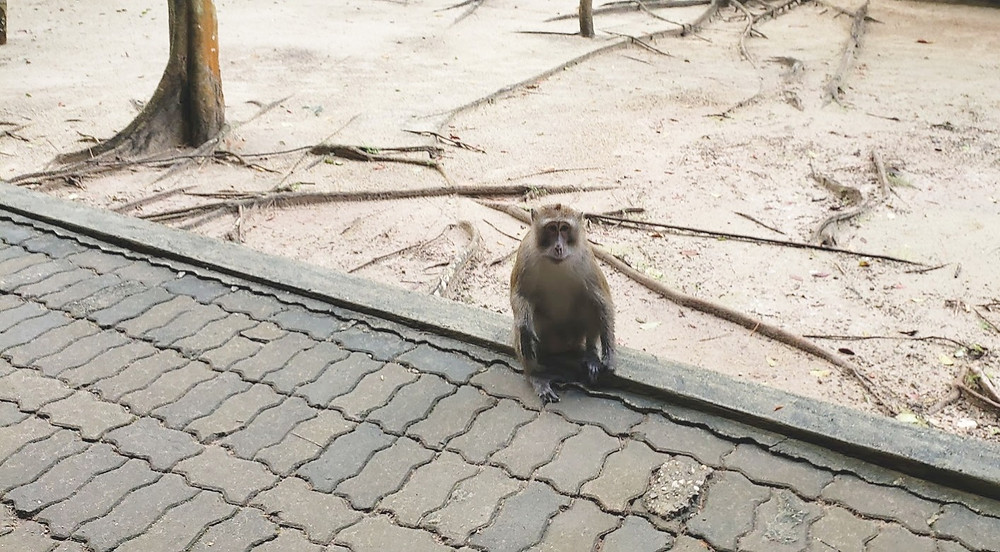 Macaque monkey attack in Khao Khanap Cave In Krabi, Thailand