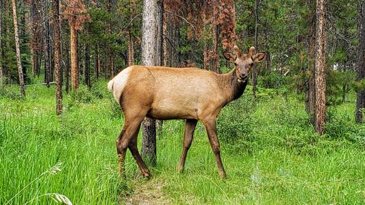 Elk sighting in campground, Jasper, Alberta