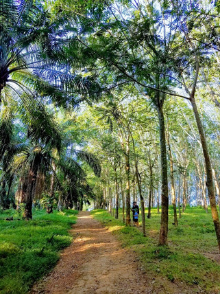 Rubber Tree Plantation