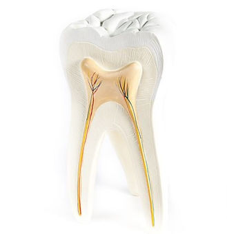 Tooth with root, dental