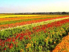 Be'er Tuvia Flower Picking