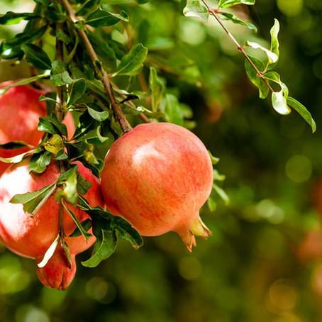 Fruit Picking at Gimzo