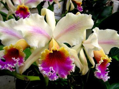 400px-Orquidea_cattleya_rex_flammea_ecol