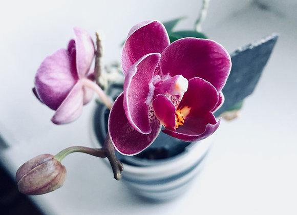 Sea Salt Orchid