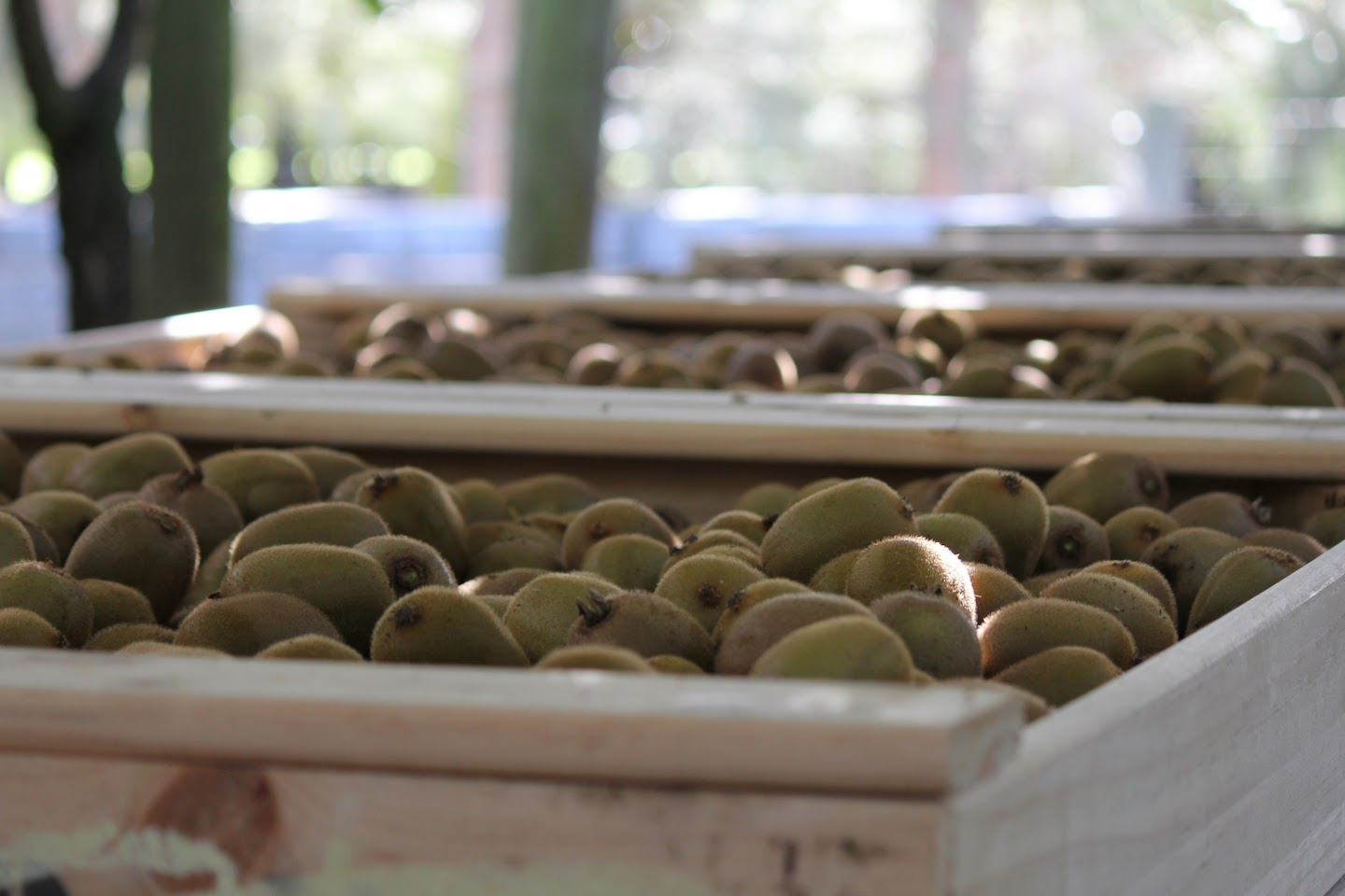Bins of kiwifruits