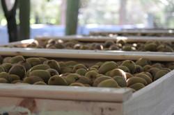 Bins of kiwifruits
