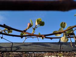 Spring kiwifruit