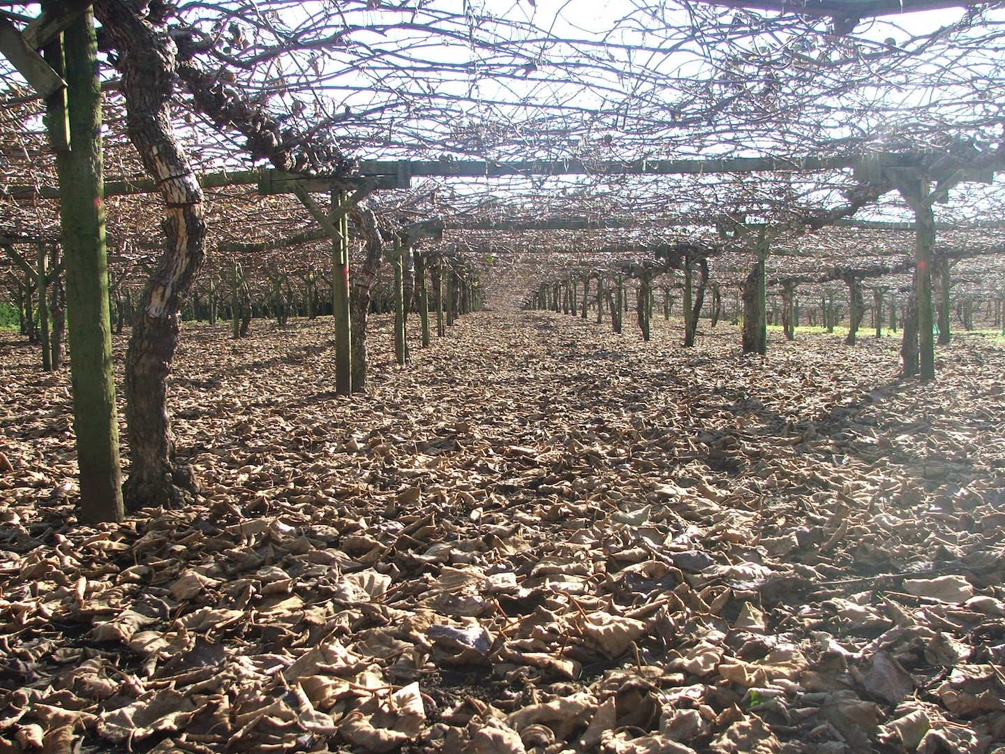 Orchard during the winter