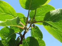 Kiwifruit - Oct