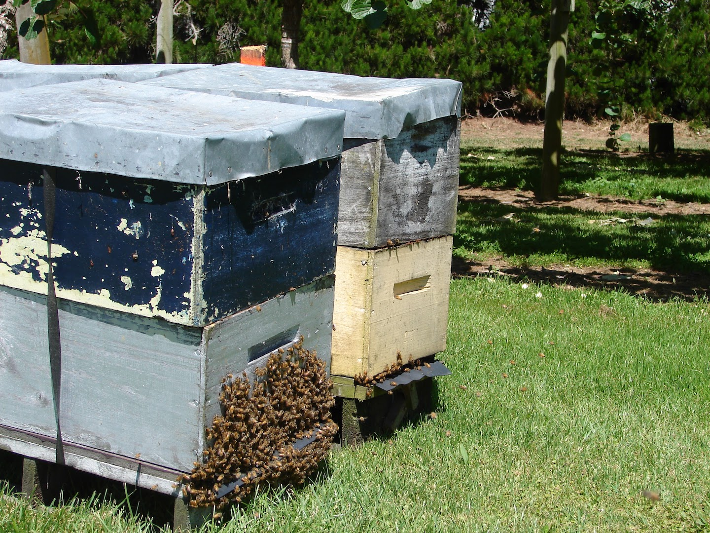 Bees for the orchard
