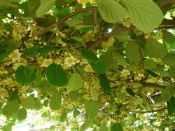 Flower of kiwifruit