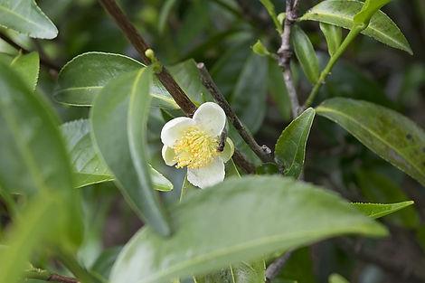 tea-flower-2579512_640.jpg