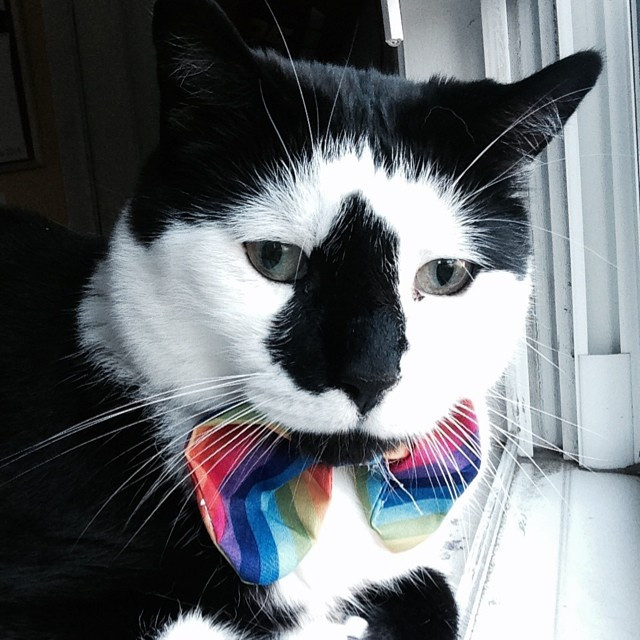 Black and white cat with rainbow striped bowtie