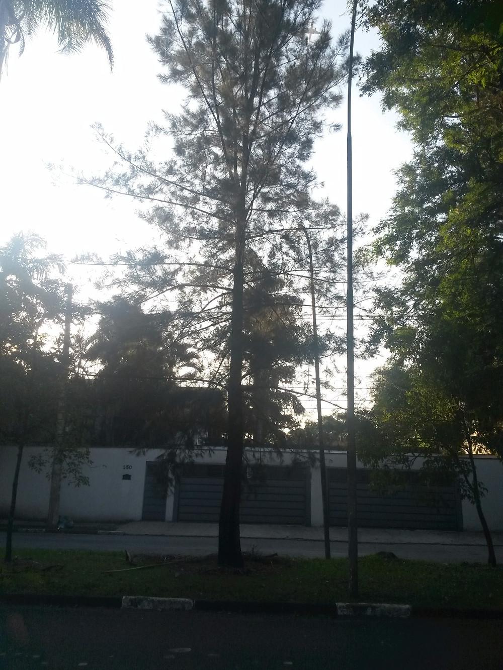 O pinheiro da Avenida dos Semaneiros se enraizou no caminho do destino marcando símbolo de confirmação no campo dos meus sonhos