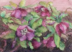 Flowering Hellebores