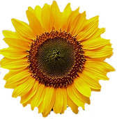 Bright%2520Sunflower_edited_edited.png