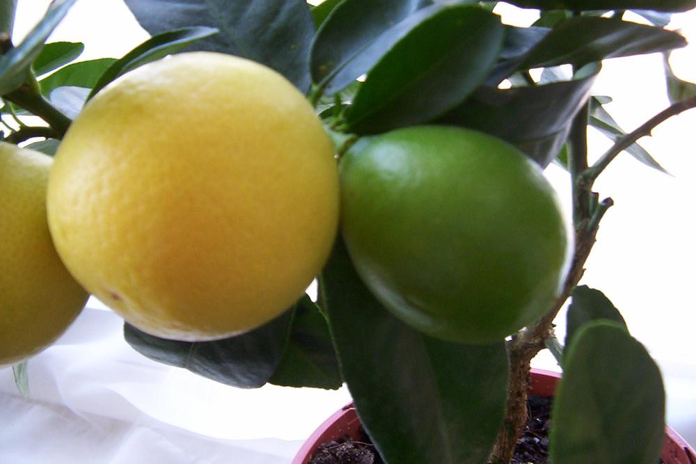 Limequat for caipirinhas