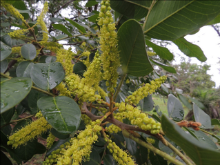 Native Woods Used For Aging Cachaça:    Pterogyne Nitens