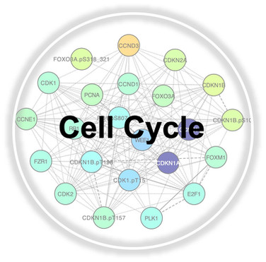 Cell cycle.jpg