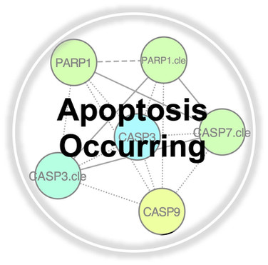 Apoptosis Occurring.jpg