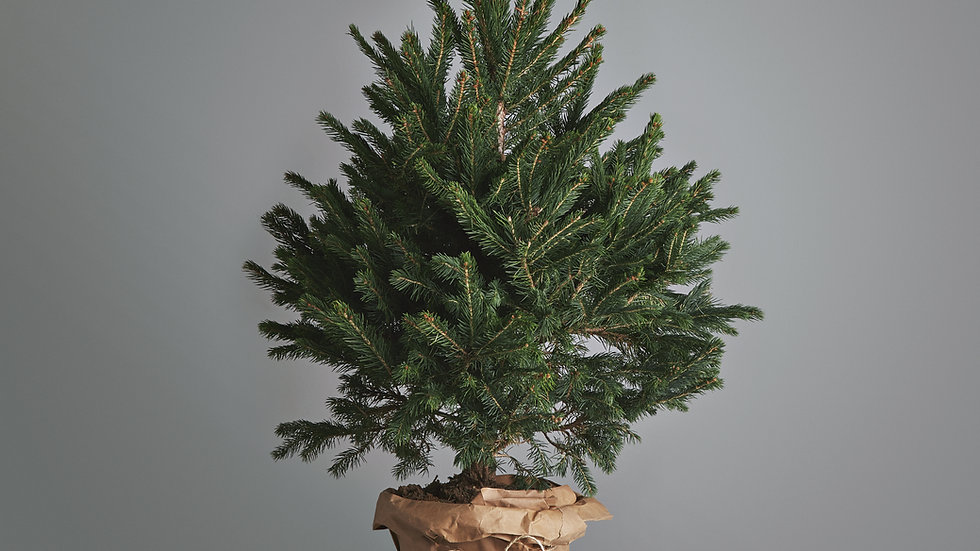 Rental Tree 7ft (includes £15 deposit)