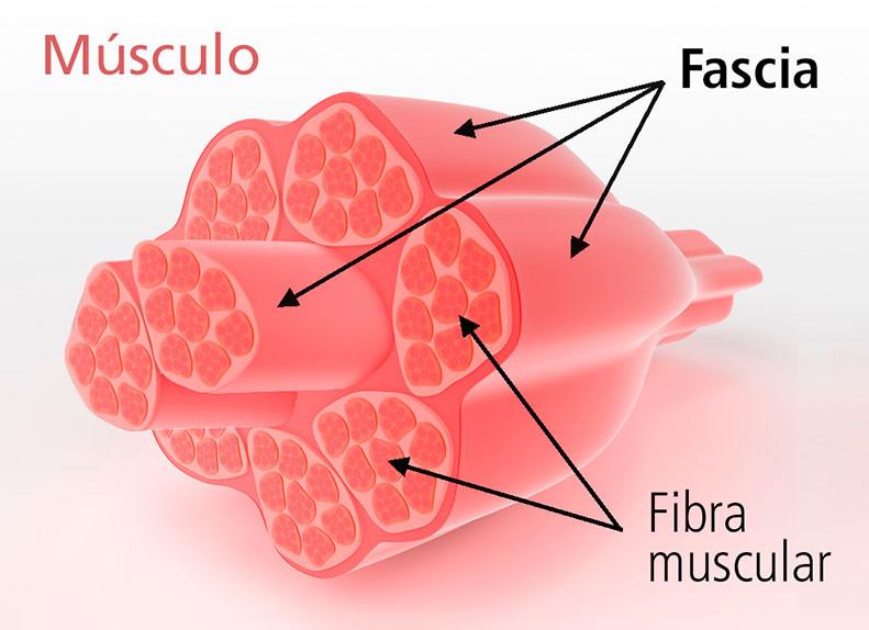 Estructura de la Fascia