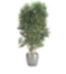 Ficus Benjamina Spire