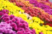 Indoor plants chrysanthemums
